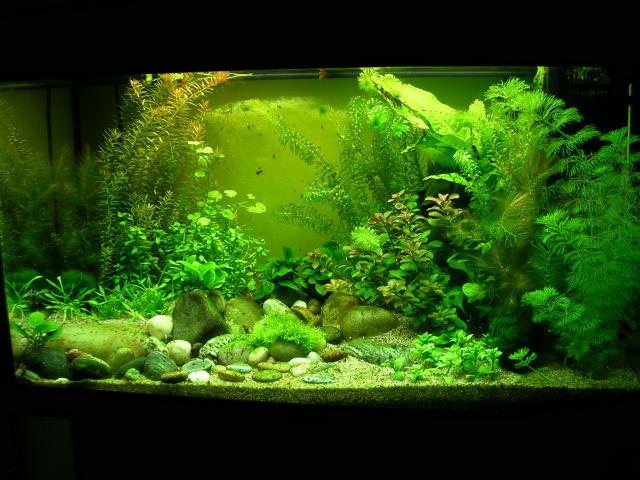 Juwel Rio 125 (Tateurndina ocellicauda) DSCN7465