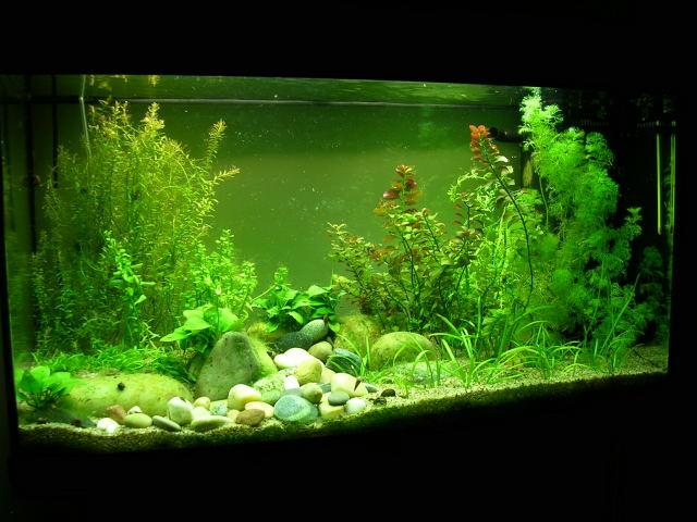 Juwel Rio 125 (Tateurndina ocellicauda) DSCN8046