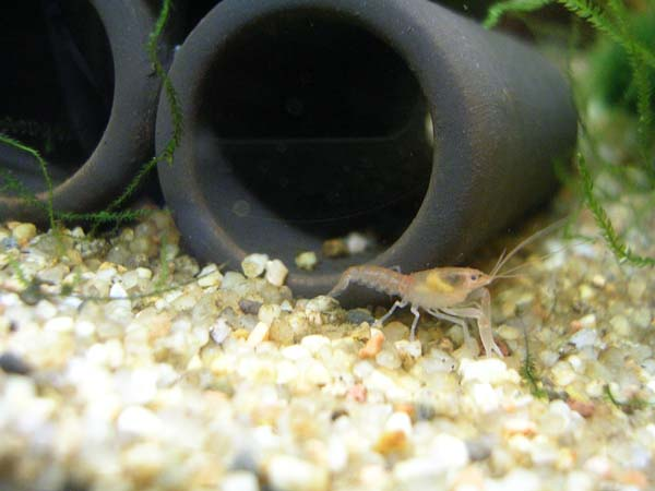 Cherax holthuisi Divers%20avril%202011%20051b