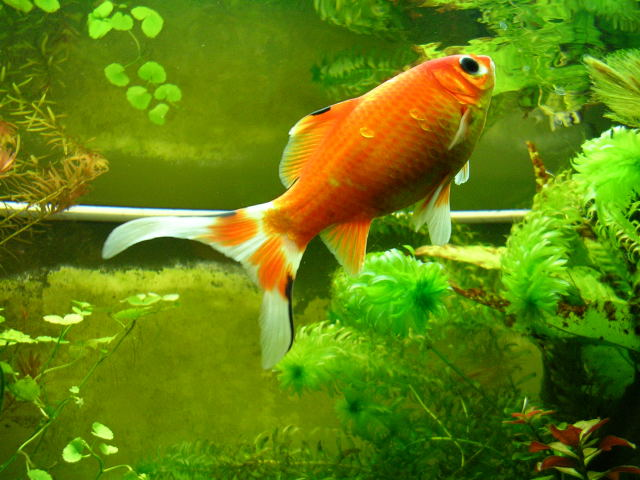 Ob le poisson rouge for Aquarium 20 litres poisson rouge