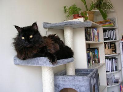 quel arbre a chat pour un maine coon. Black Bedroom Furniture Sets. Home Design Ideas